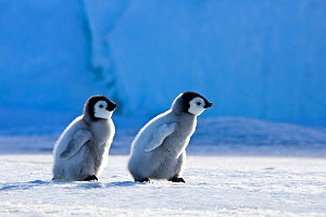 Two Emperor penguin (Aptenodytes forsteri) chicks walking on pack ice in front of blue iceberg, Antarctica - Klein & Hubert