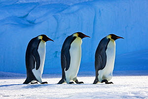 Three Emperor penguin (Aptenodytes forsteri) walking in line on pack ice in front of blue iceberg, Antarctica  -  Klein & Hubert