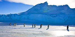Emperor penguin (Aptenodytes forsteri) walking on pack ice back to sea, Antarctica - Klein & Hubert