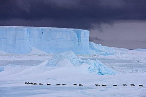 Emperor penguins (Aptenodytes fosteri) tobogganing towards the sea, Antarctica. - Klein & Hubert