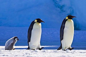 Two Emperor penguin (Aptenodytes forsteri) walking with chick in front of blue iceberg, Antarctica - Klein & Hubert