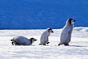 Three Emperor penguin (Aptenodytes forsteri) chicks walking on pack ice in front of blue iceberg, Antarctica - Klein & Hubert