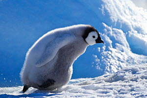 Emperor penguin (Aptenodytes forsteri) chick walking in snow, Antarctica. - Klein & Hubert