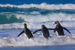 Three King penguins (Aptenodytes patagonicus) entering sea, Falklands. - Klein & Hubert