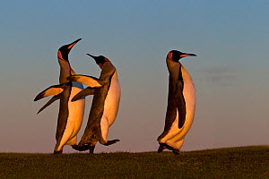 Three King penguin (Aptenodytes patagonicus) with two fighting during courtship, Falklands. - Klein & Hubert