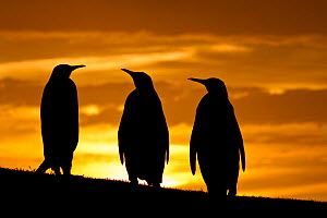 Three King penguins (Aptenodytes patagonicus) silhouetted at  sunset, Falklands. - Klein & Hubert
