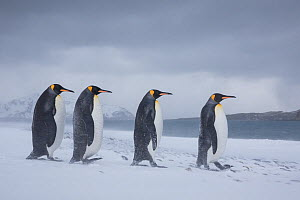 Four King penguins (Aptenodytes patagonicus) walking in blizzard, South Georgia, Antarctica. - Klein & Hubert