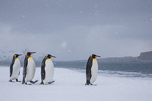 Group of King penguinss (Aptenodytes patagonicus) walking in blizzard, South Georgia, Antarctica. - Klein & Hubert
