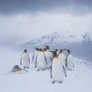 Group of King penguinss (Aptenodytes patagonicus) in blizzard, South Georgia, Antarctica.  -  Klein & Hubert