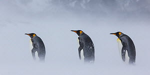 Three King penguins (Aptenodytes patagonicus) in blizzard, South Georgia, Antarctica. - Klein & Hubert