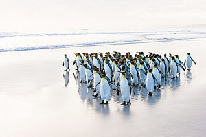Group of King penguins (Aptenodytes patagonicus) walking on beach, Falklands. - Klein & Hubert