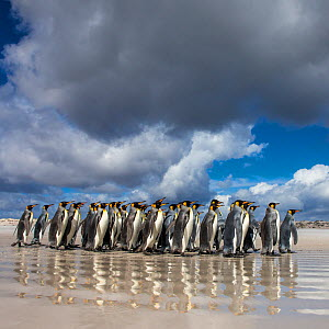 Group of King penguins (Aptenodytes patagonicus) walking on beach, with cloudy sky, Falklands. - Klein & Hubert