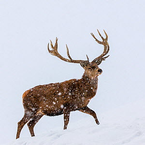 Red deer (Cervus elaphus) stag walking in snow, Germany  -  Klein & Hubert