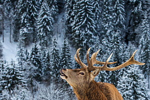 Red deer (Cervus elaphus) stag calling in snowy mountains forest, portrait, Germany  -  Klein & Hubert