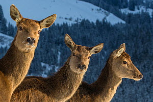 Three Red deer (Cervus elaphus) does in winter, Germany  -  Klein & Hubert