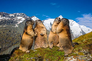 Alpine marmots (Marmota marmota) fighting, Alps, Austria. - Klein & Hubert