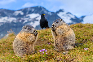 Two Alpine marmots (Marmota marmota) feeding with Alpine chough (Pyrrhocorax graculus) in the background,  Alps, Austria. - Klein & Hubert