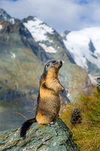Alpine marmot (Marmota marmota)  standing on hind legs with mountains behind, Alps, Austria. - Klein & Hubert