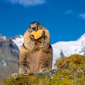 Alpine marmot (Marmota marmota)  standing on hind legs holding a heart-shaped biscuit, Alps, Austria.  -  Klein & Hubert