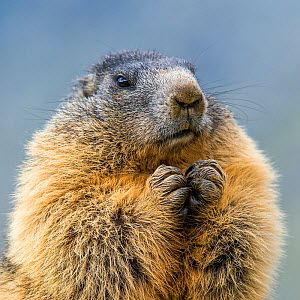 Alpine marmot (Marmota marmota) portrait with paws together. Alps, Austria. - Klein & Hubert