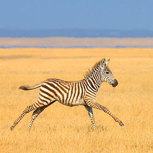 Grants zebra  (Equus quagga boehmi) foal running in savanna. Kenya.  -  Klein & Hubert