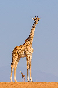 One Masai giraffe  (Giraffa camelopardalis tippelskirchi) portrait with another in distance, while crossing a dry lake bed, Kenya  -  Klein & Hubert