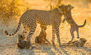 Cheetah (Acinonyx jubatus) cubs, age three months, playing with their mother in golden light, Botswana.  -  Klein & Hubert