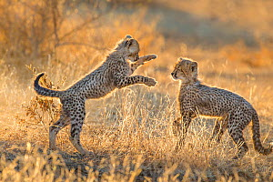 Cheetah (Acinonyx jubatus) cubs, age three months, playing, Botswana.  -  Klein & Hubert