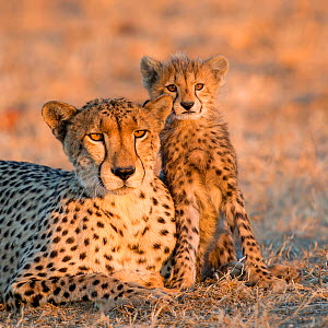 Cheetah (Acinonyx jubatus) cub, age three months, sitting against his resting mother, Botswana.  -  Klein & Hubert