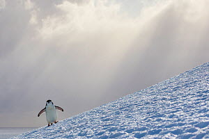 Chinstrap penguin (Pygoscelis antarcticus) climbing to colony with rays of light in sky, Antarctica  -  Klein & Hubert