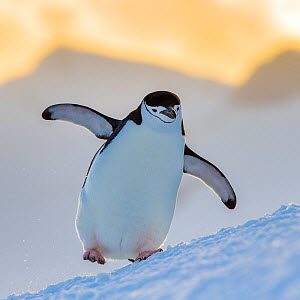 Chinstrap penguin (Pygoscelis antarcticus) walking with full belly at sunset, Antarctica  -  Klein & Hubert