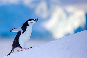 Chinstrap penguin (Pygoscelis antarcticus) climbing to colony, carrying a stone for his nest, Antarctica  -  Klein & Hubert