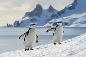 Chinstrap penguins (Pygoscelis antarcticus) climbing to colony and mountain in background, Antarctica - Klein & Hubert