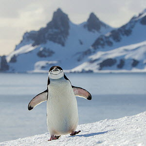 Chinstrap penguin (Pygoscelis antarcticus) climbing to colony and mountain in background, Antarctica  -  Klein & Hubert