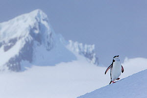 Chinstrap penguin (Pygoscelis antarcticus) climbing to colony and mountain summit in background, Antarctica  -  Klein & Hubert