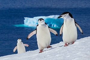 Chinstrap penguins (Pygoscelis antarcticus) group of three climbing slope to colony and iceberg in background, Antarctica  -  Klein & Hubert