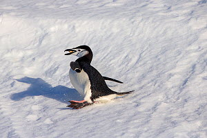 Chinstrap penguin (Pygoscelis antarcticus) slipping while carrying a stone for his nest, Antarctica - Klein & Hubert