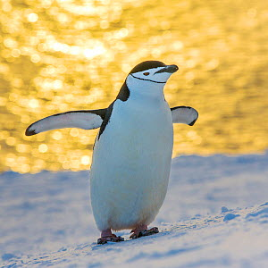 Chinstrap penguin (Pygoscelis antarcticus) with sea, in sunset light in the background, Antarctica - Klein & Hubert