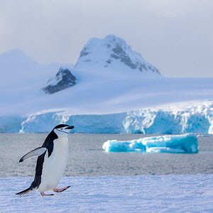Chinstrap penguin (Pygoscelis antarcticus) walking with high mountains in background, Antarctica - Klein & Hubert