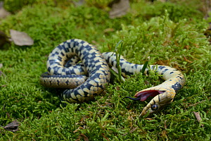 Grass snake (Natrix natrix) feigning death, Poitou, France, May.  -  Daniel  Heuclin