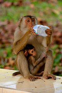 Southern pig-tailed macaque (Macaca nemestrina) female, with baby, drinking from bottle, Malaysia, March. - Daniel  Heuclin