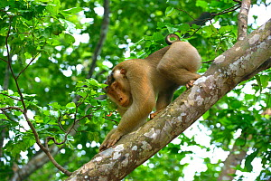 Southern pig-tailed macaque (Macaca nemestrina) on branch, Malaysia, March. - Daniel  Heuclin