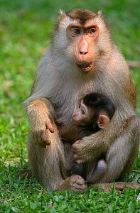 Southern pig-tailed macaque (Macaca nemestrina) holding baby, Malaysia, March. - Daniel  Heuclin