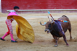 Bull fighting, banderillero with yellow and magneta cape during first round, Tercio de Varas of the bullfight,Plaza de Toros, Valencia, Spain. July 2014.  -  Barry Bland