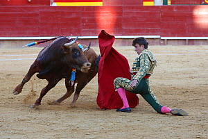 Matador waving red cape at bull during bullfight, bull is speared with barbed sticks (banderillas), Plaza de Toros, Valencia, Spain. July 2014.  -  Barry Bland