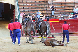 Dead bull dragged out of the bull fighting ring by mules, Plaza de Toros, Valencia, Spain. July 2014. - Barry Bland