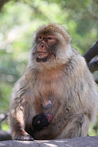Barbary macaque (Macaca sylvanus) mother holding newborn baby macaques, Rock of Gibraltar. - Barry Bland