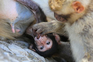 Barbary macaques (Macaca sylvanus) mother holding baby with another playing with the baby, Rock of Gibraltar. - Barry Bland