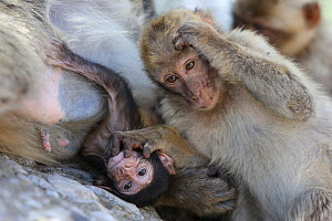 Barbary macaques (Macaca sylvanus) with baby, Rock of Gibraltar. - Barry Bland