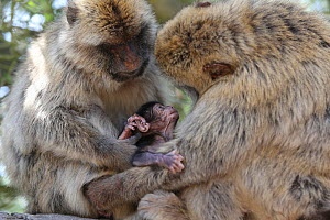 Barbary macaques (Macaca sylvanus) holding baby macaques, Rock of Gibraltar. - Barry Bland
